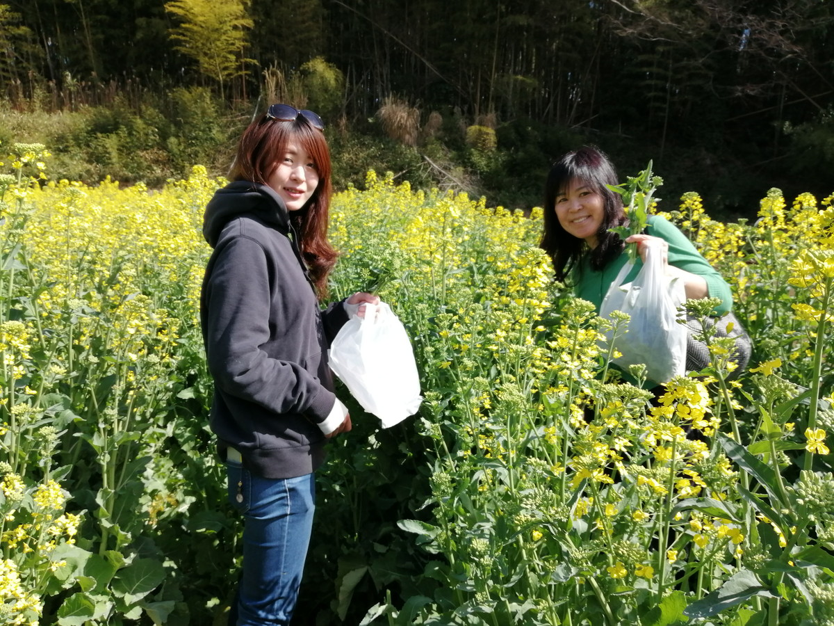 Photo of picking rape blossoms 1